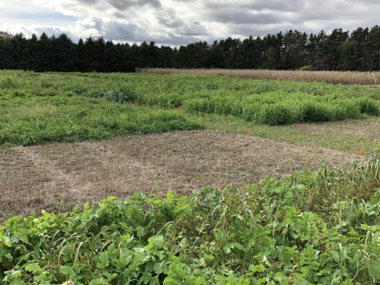 Green cover crop plots from the long-term experiment in Ridgetown