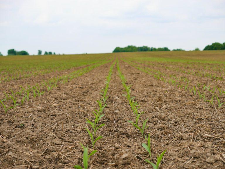 Rows of corn seedlings in a field