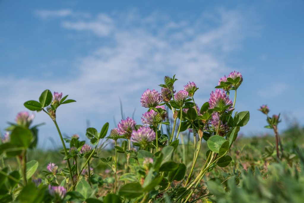 Red clover blossoms in a field