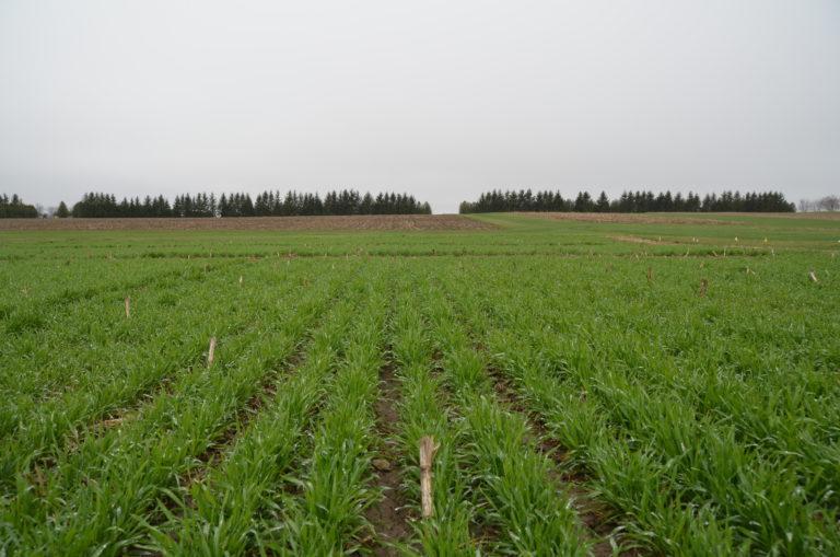 Field of fall rye following silage corn