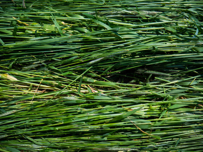 Mat of green, crimped cereal rye mulch