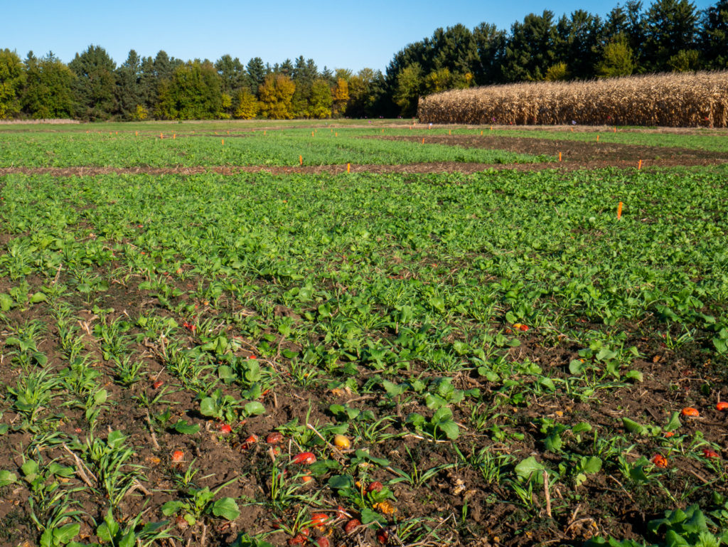 Field of cover crops after tomato harvest