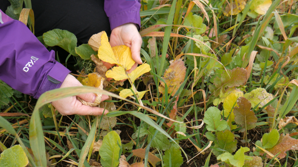 Person handling dead leaves in a fall cover crop